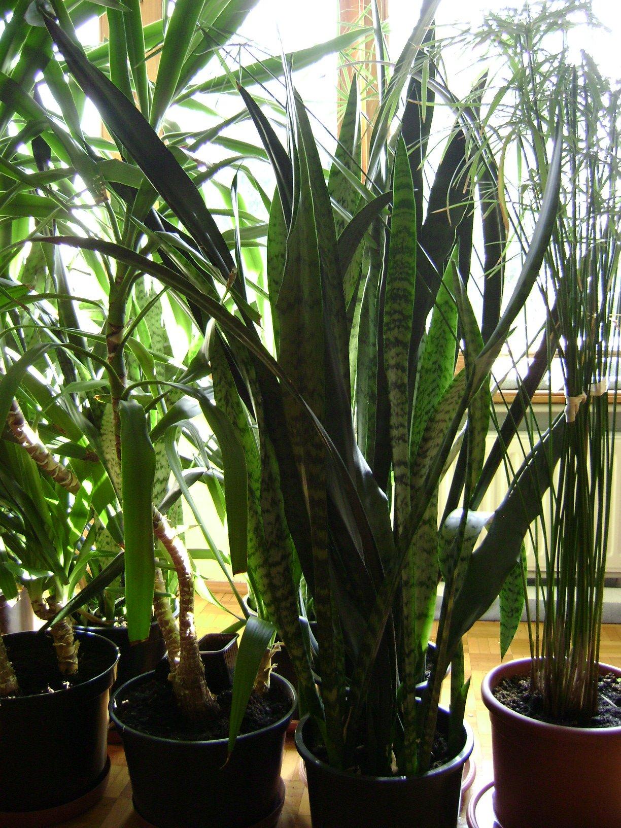 Sansewiera Dracena Rośliny Do Ogrodu Zimowego 6978009621