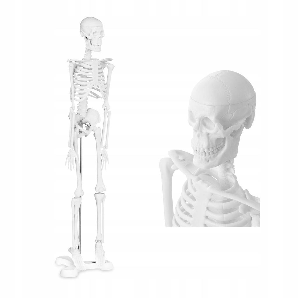 Model Ludzkiego Szkieletu Na Stojaku Maly 47cm 7720358563 Oficjalne Archiwum Allegro