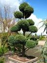 Cyprysik boulevard uformowany na bonsai 60-80cm Wysokość sadzonki 60-80 cm