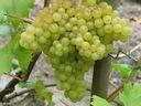 Winorośl wczesna Kristaly art. nr 246