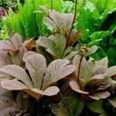 Masywna RODGRESJA CHOCOLATE WINGS czekoladowy liść