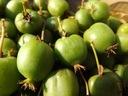 KIWI SAMOPYLNE - BARDZO SŁODKIE - owoc średni - IX