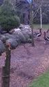 Drób ozdobny Karmazyn, Legbar kaczki Karolinki