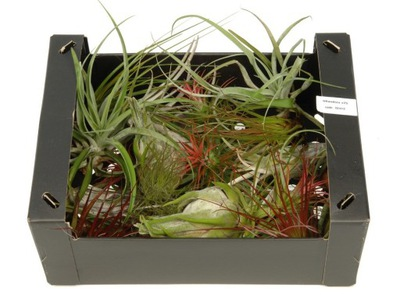 TILLANDSIA, OPLĄTWA , box , mix AIRPLANT X 30 KS,